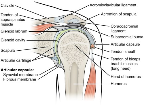 small resolution of this figure shows the structure of the shoulder joint the main ligaments and parts are