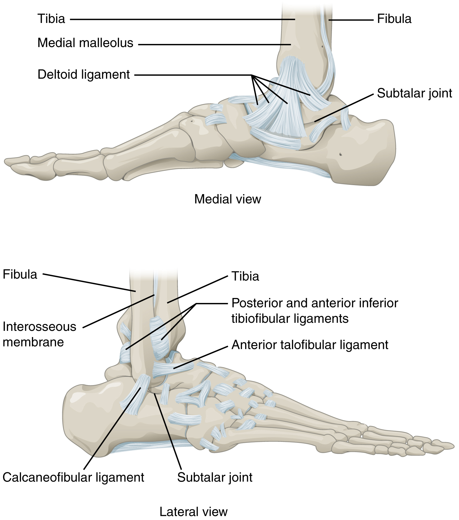 hight resolution of this figure shows the structure of the ankle and feet joints the top panel shows