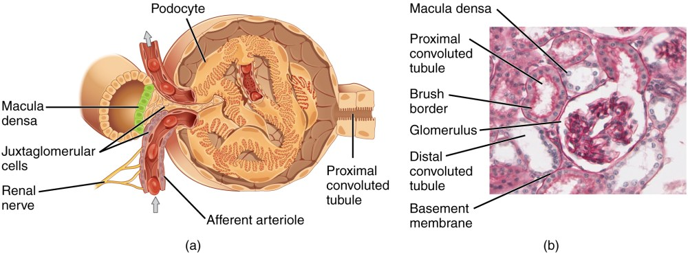medium resolution of the top panel of this image shows the cross section of the juxtaglomerular apparatus the