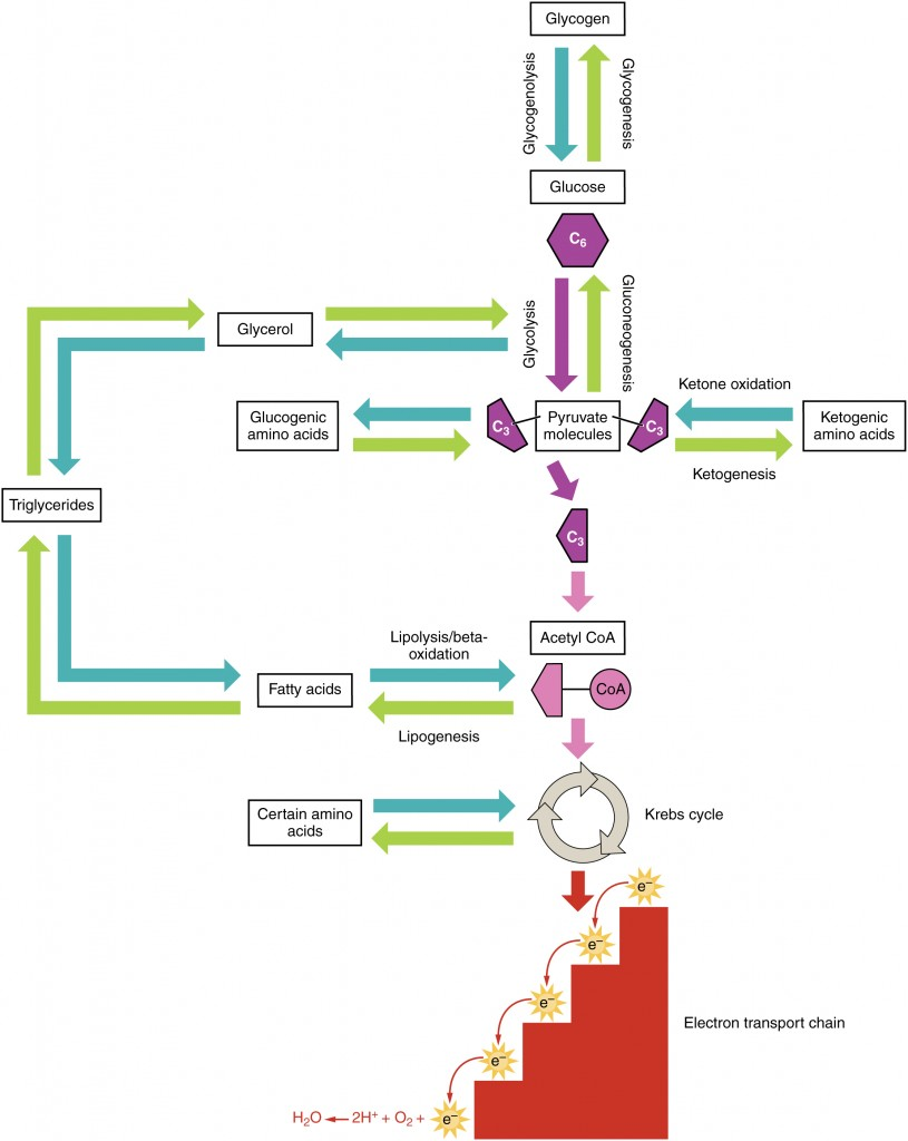 hight resolution of this diagram shows the different metabolic pathways and how they are connected
