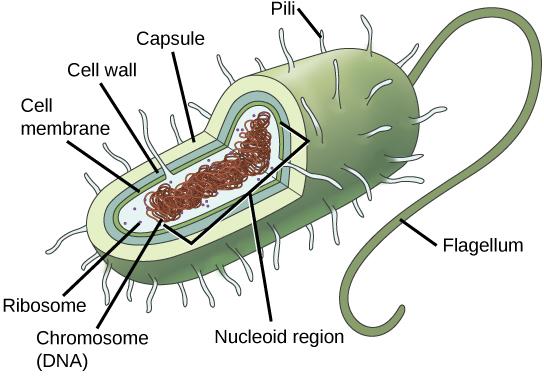 Microscope Under Euglena Cells