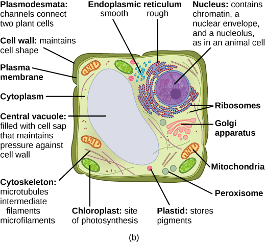 eukaryotic endomembrane system cell diagram 1988 winnebago chieftain wiring 3 cells concepts of biology 1st canadian edition molnar part b this illustration depicts a typical plant the nucleus