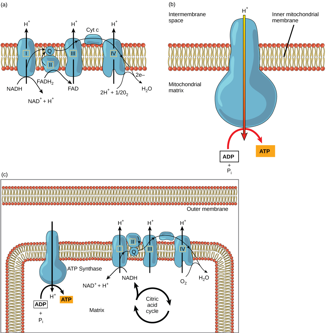 diagram with inputs and outputs of photosynthesis process 1990 honda accord tail light wiring 4 3 citric acid cycle oxidative phosphorylation concepts part a this illustration shows the electron transport chain embedded in inner mitochondrial membrane figure