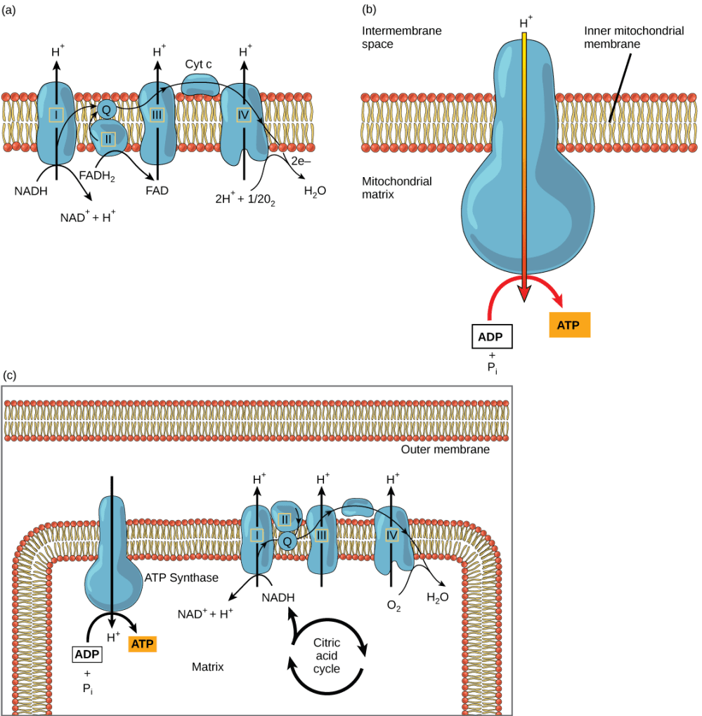 medium resolution of part a this illustration shows the electron transport chain embedded in the inner mitochondrial membrane