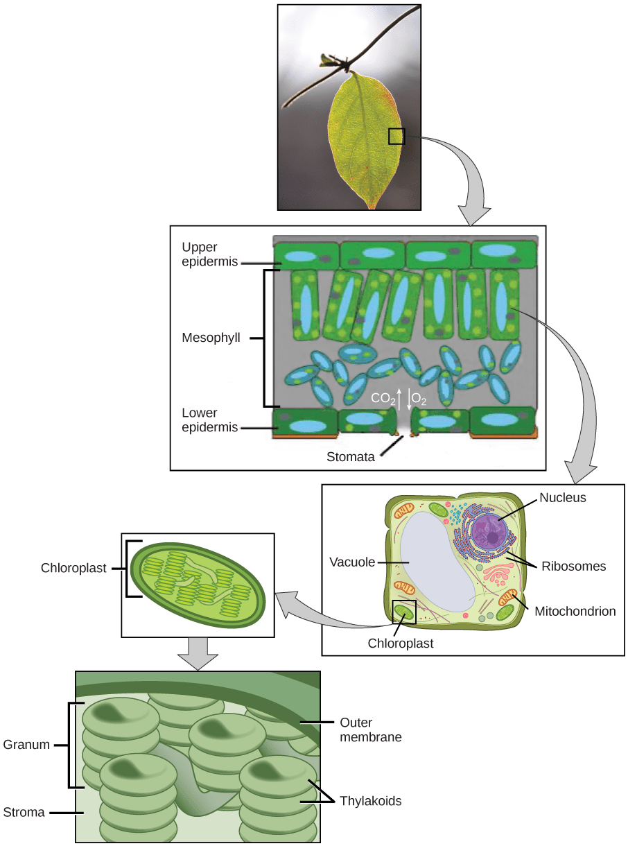 medium resolution of the upper part of this illustration shows a leaf cross section in the cross