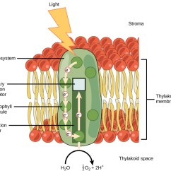 Light Reactions Photosystem Diagram Of A Harley Davidson Motorcycle 5 2 The Dependent Photosynthesis Concepts This Illustration Shows Ii Which Has Harvesting Complex Surrounding Reaction