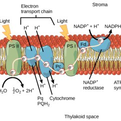 Light Reactions Photosystem Diagram Ford Falcon Ef Stereo Wiring 5 2 The Dependent Of Photosynthesis Concepts This Illustration Shows Components Involved In Ii Uses To