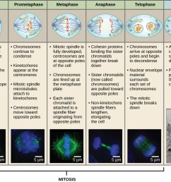 this diagram shows the five phases of mitosis and cytokinesis during prophase the [ 1038 x 811 Pixel ]
