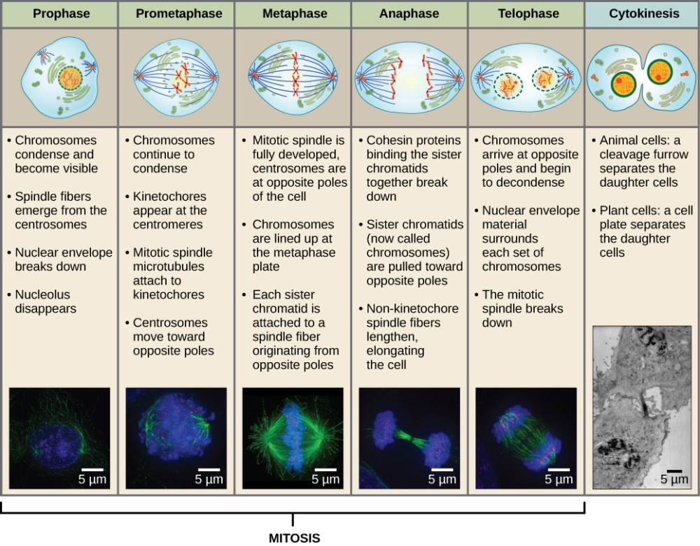 medium resolution of this diagram shows the five phases of mitosis and cytokinesis during prophase the