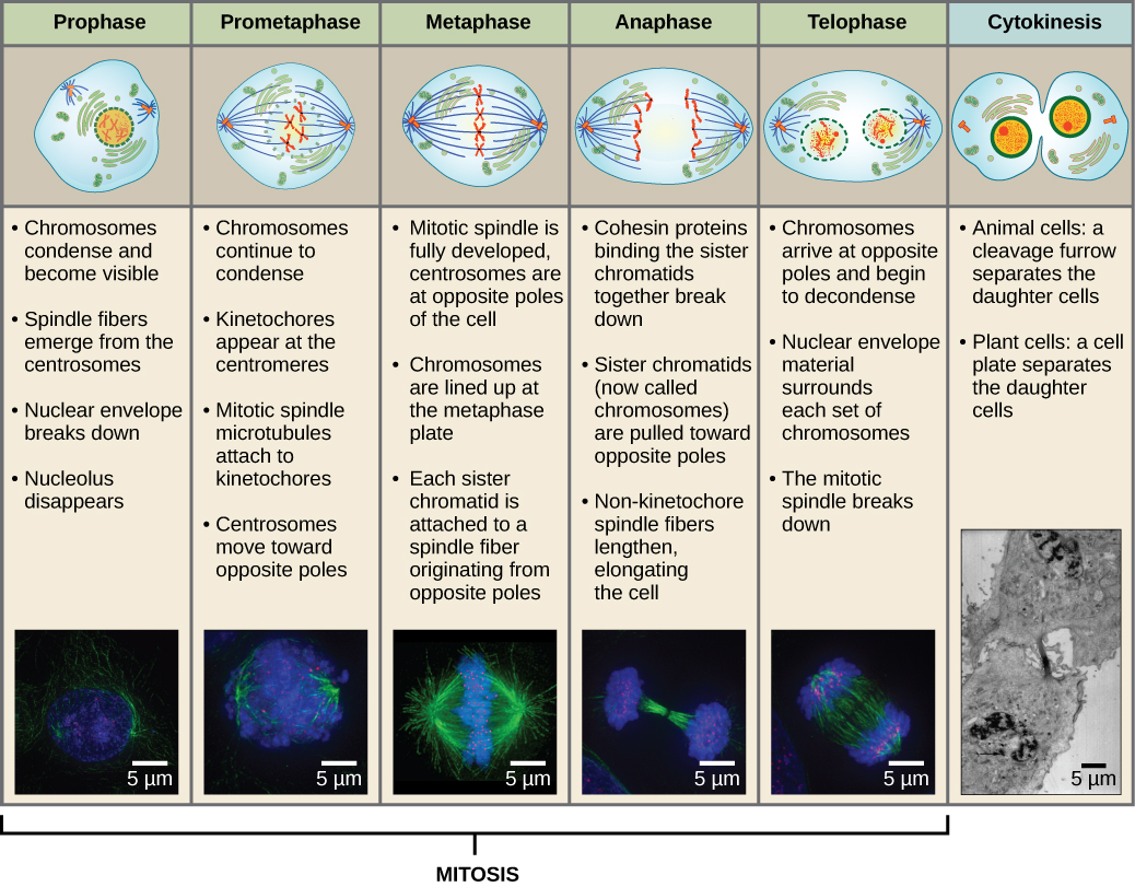 hight resolution of this diagram shows the five phases of mitosis and cytokinesis during prophase the
