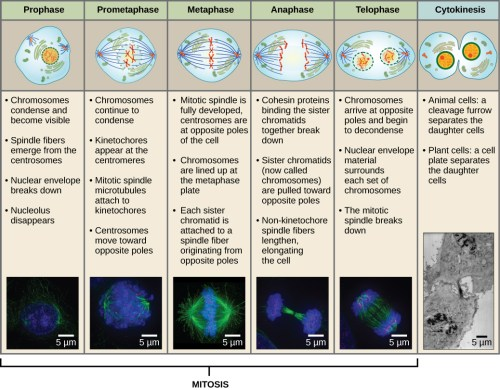 small resolution of this diagram shows the five phases of mitosis and cytokinesis during prophase the