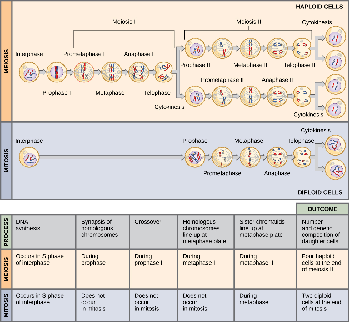hight resolution of this illustration compares meiosis and mitosis in meiosis there are two rounds of cell