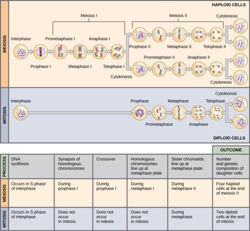 small resolution of this illustration compares meiosis and mitosis in meiosis there are two rounds of cell