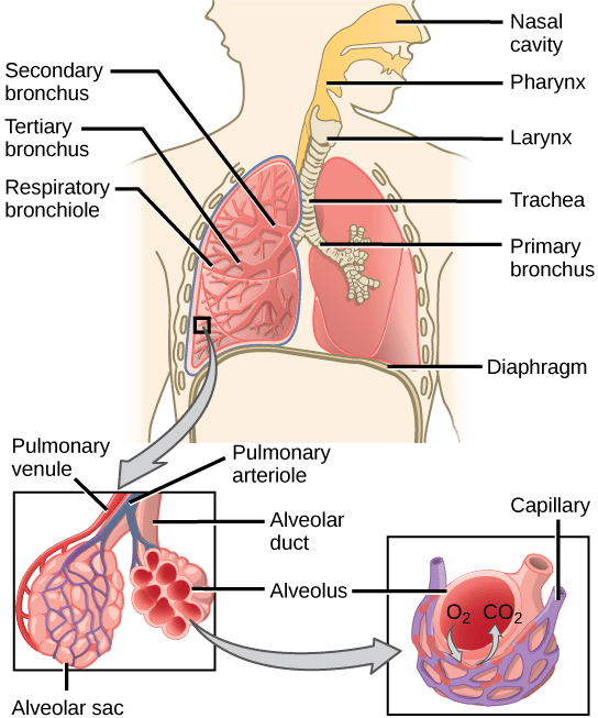 label the following diagram of respiratory system sr20det wiring harness 11 3 circulatory and systems concepts biology 1st illustration shows flow air through human nasal cavity