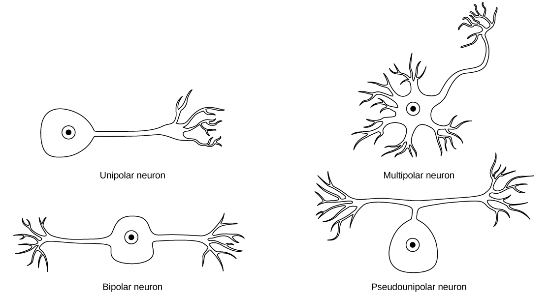 16.1 Neurons and Glial Cells – Concepts of Biology