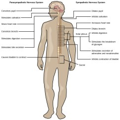 Concept Map Skeletal System Diagram Cat Pumps 3dx29gsi Parts Nervous Pittsburgh Subway Peripheral Pictures Image Collections Human Figure 35 04 02