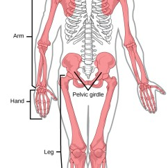 Human Skeleton And Muscles Diagram First Company Air Handler Wiring 19 1 Types Of Skeletal Systems Concepts Biology 1st Canadian Appendicular