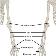 Human Skeleton Diagram Without Labels Front Mercedes Benz W123 Wiring 19.1 Types Of Skeletal Systems – Concepts Biology-1st Canadian Edition