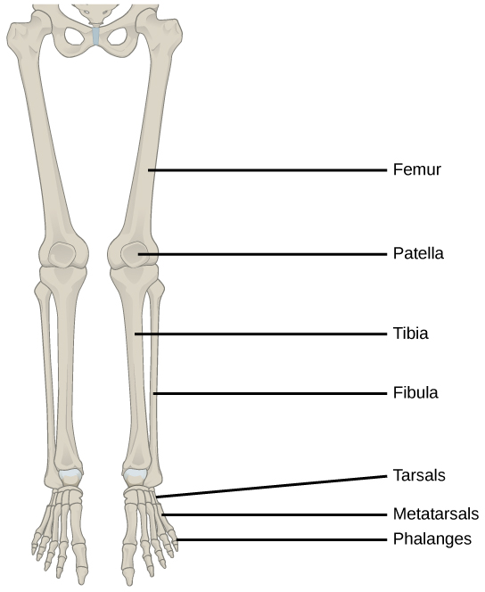 the human skeleton diagram fill in blanks big tex trailer plug wiring 19.1 types of skeletal systems – concepts biology-1st canadian edition