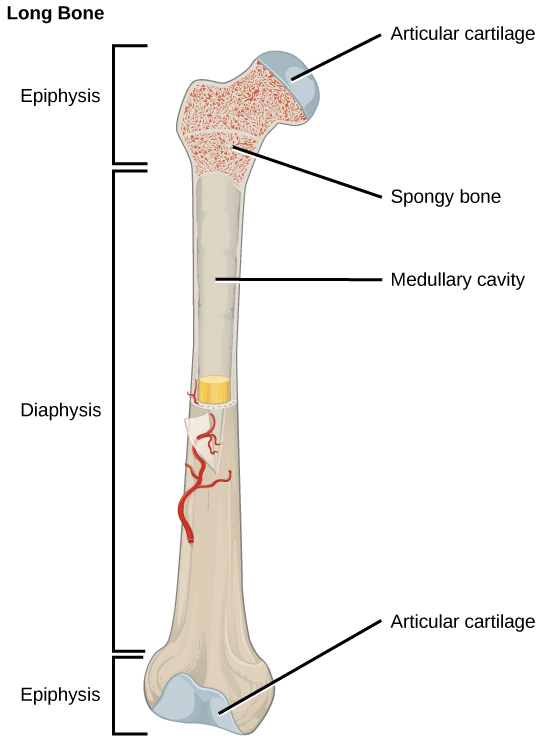 Long bone type in the upper arm. 19.2 Bone - Concepts of Biology - 1st Canadian Edition