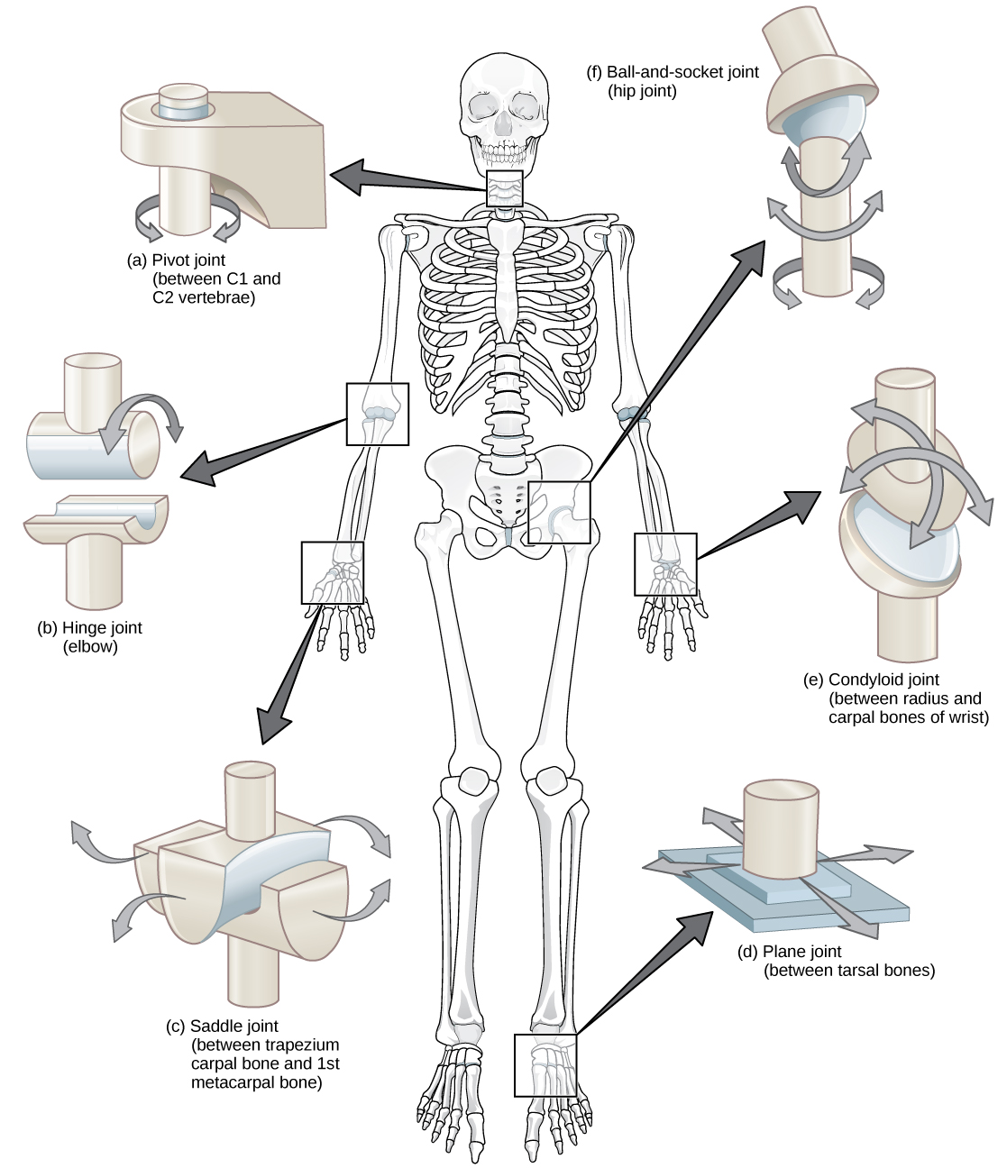 movements allowed by synovial joints diagram cat 3 wiring rj45 19 and skeletal movement  concepts of biology