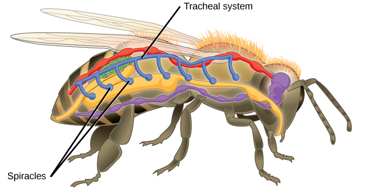 diagram of an ant life cycle worksheet harbor freight security camera wiring 20.1 systems gas exchange – concepts biology-1st canadian edition