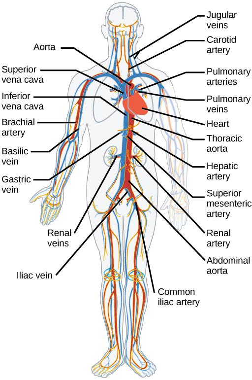 Coronary Circulation Labeling