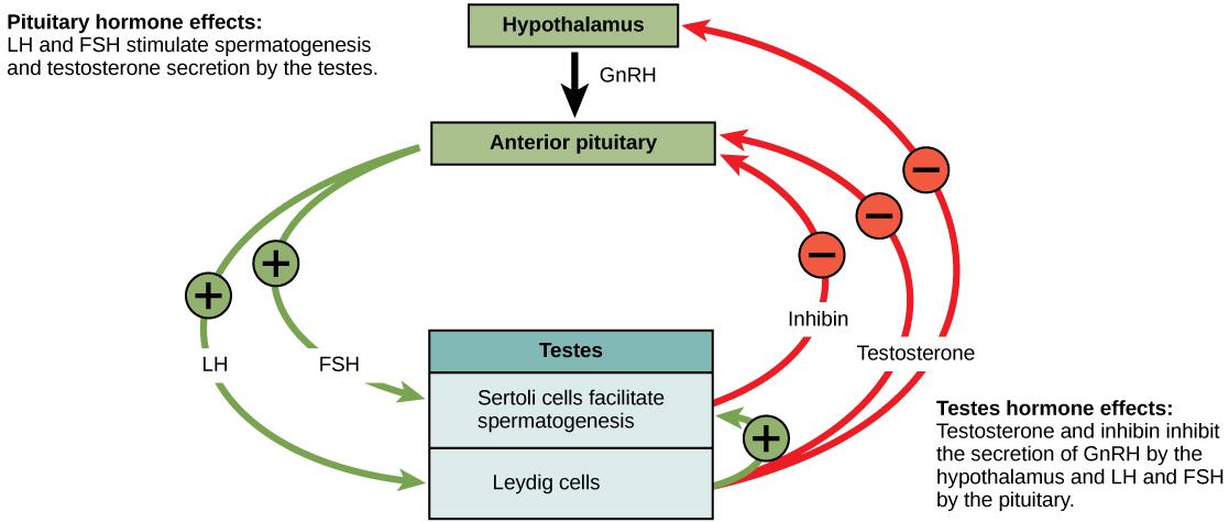 Negative Feedback Loop Biology Examples