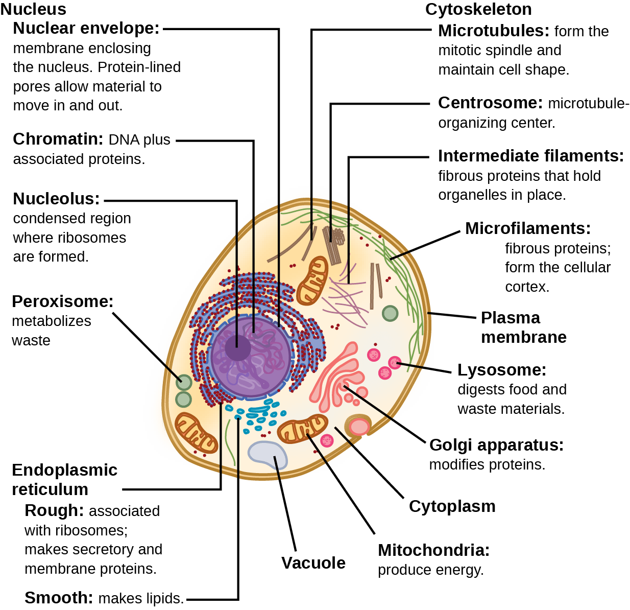 hight resolution of part a this illustration shows a typical eukaryotic animal cell which is egg shaped