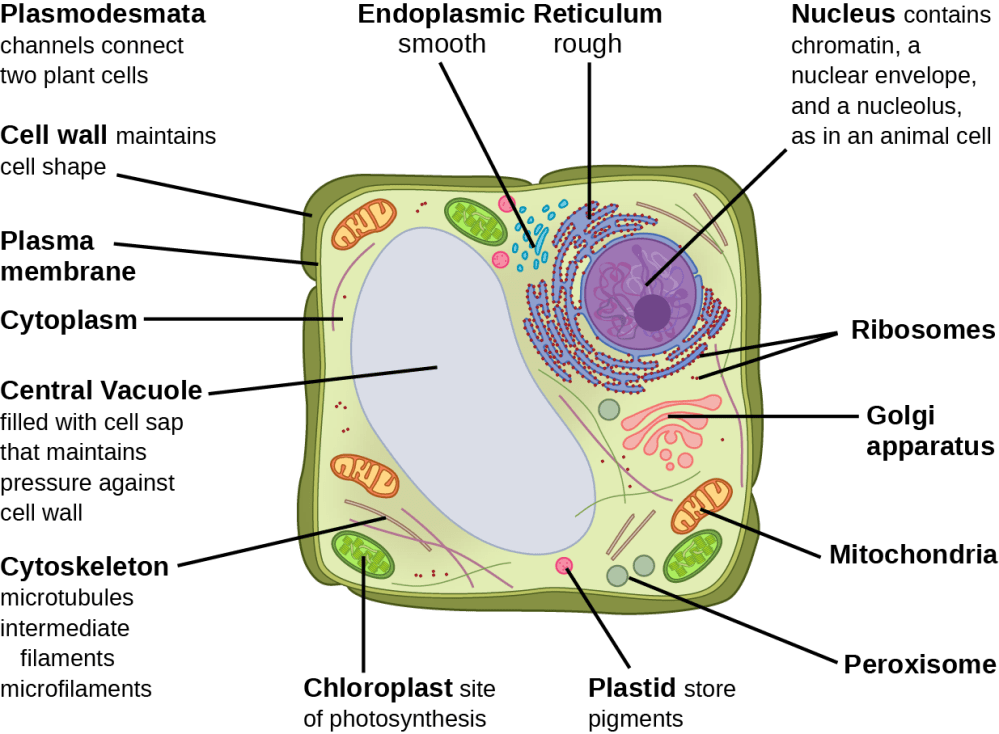 medium resolution of part b this illustration depicts a typical eukaryotic plant cell the nucleus of a