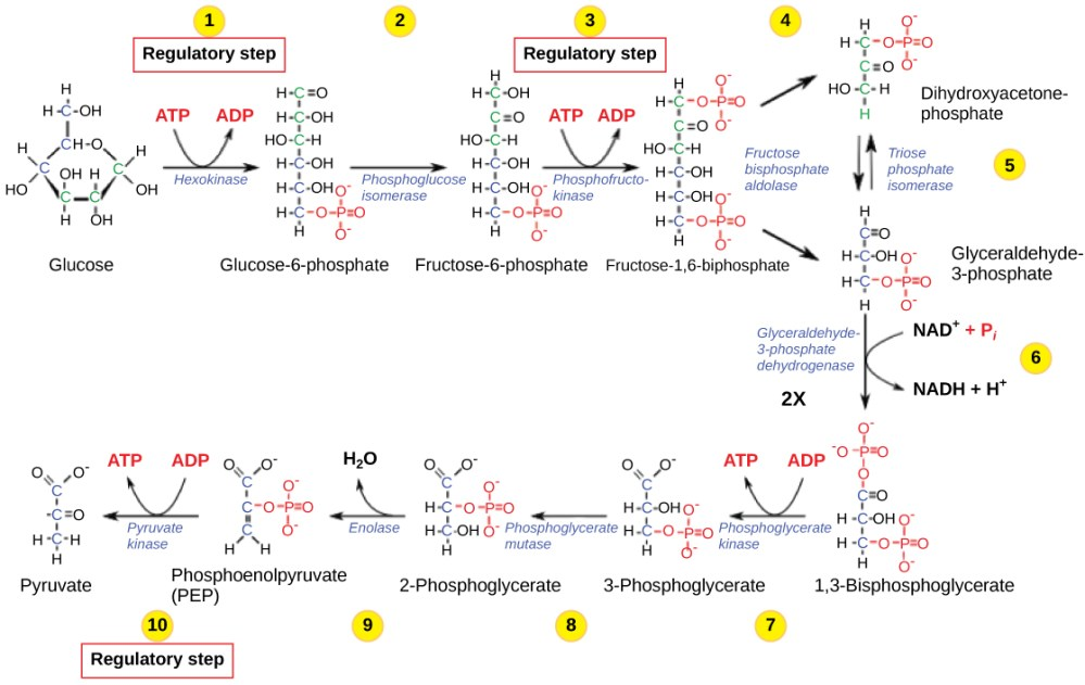 medium resolution of this illustration shows that glycolysis is regulated via three key enzymes hexokinase phosphofructokinase and