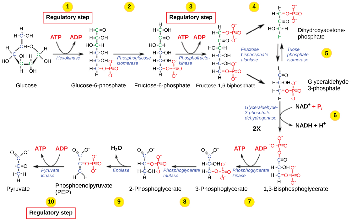 hight resolution of this illustration shows that glycolysis is regulated via three key enzymes hexokinase phosphofructokinase and