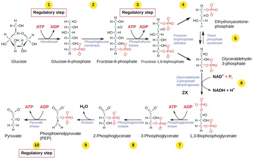 small resolution of this illustration shows that glycolysis is regulated via three key enzymes hexokinase phosphofructokinase and