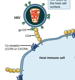 in the illustration a viral receptor on the surface of an h i v virus is attaches to [ 1019 x 1259 Pixel ]