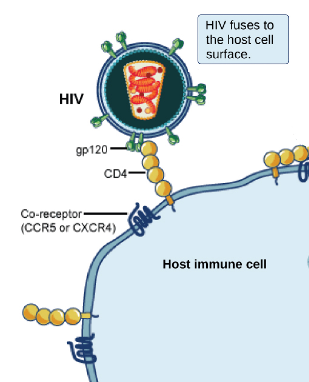 hight resolution of in the illustration a viral receptor on the surface of an h i v virus is attaches to