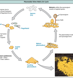illustration shows the plasmodium slime mold life cycle which begins when 1n spores germinate  [ 2247 x 1874 Pixel ]
