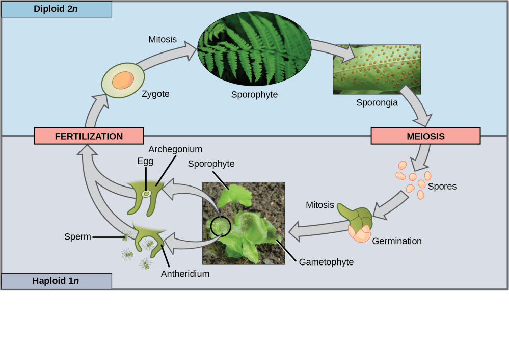 medium resolution of the fern life cycle begins with a diploid 2n sporophyte which is the