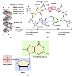 diagram a shows dna as a double helix composed of the nitrogenous bases adenine thymine [ 1200 x 1200 Pixel ]