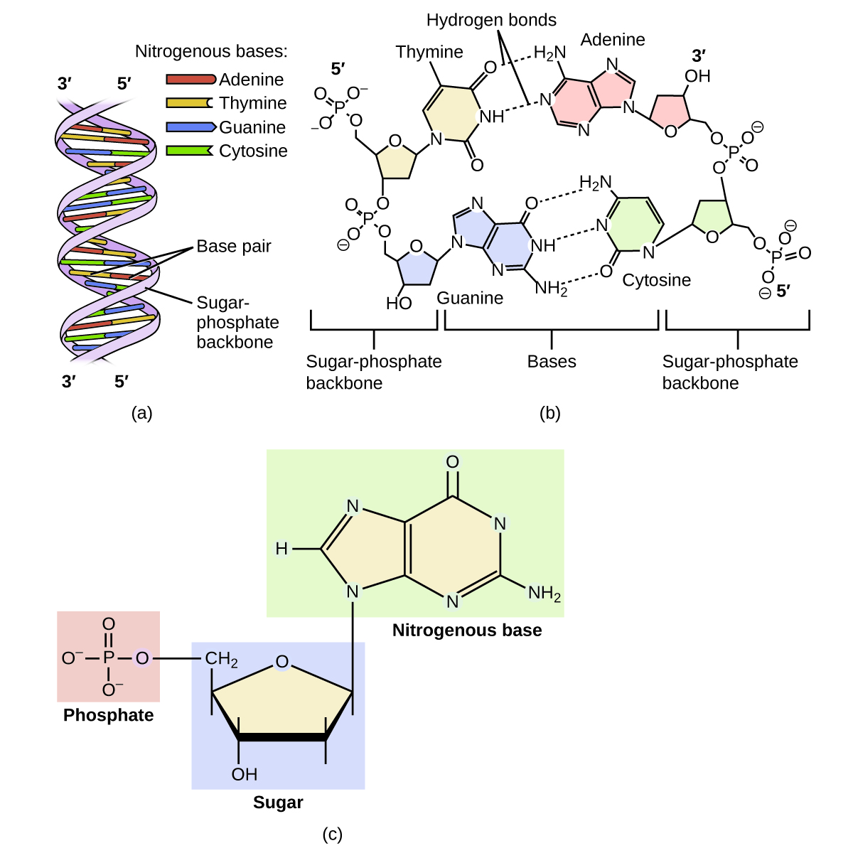 hight resolution of diagram a shows dna as a double helix composed of the nitrogenous bases adenine thymine