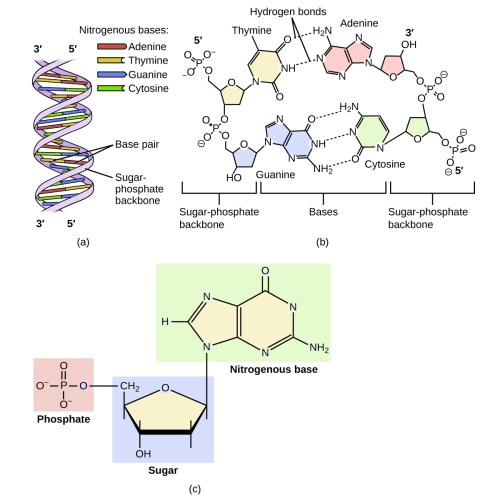 small resolution of diagram a shows dna as a double helix composed of the nitrogenous bases adenine thymine