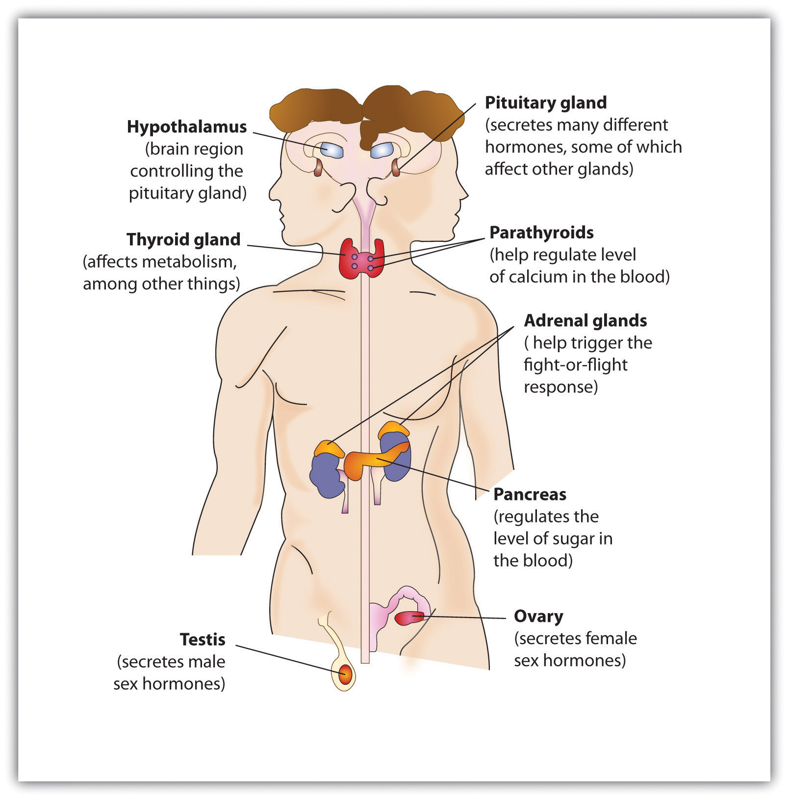 endocrine system diagram ao smith 2 speed motor wiring 4 putting it all together the nervous and body s chemicals help control behaviour