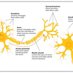Basic Neuron Diagram Dmz Network With 3 4 1 The Is Building Block Of Nervous System