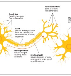 4 1 the neuron is the building block of the nervous system [ 2046 x 1412 Pixel ]