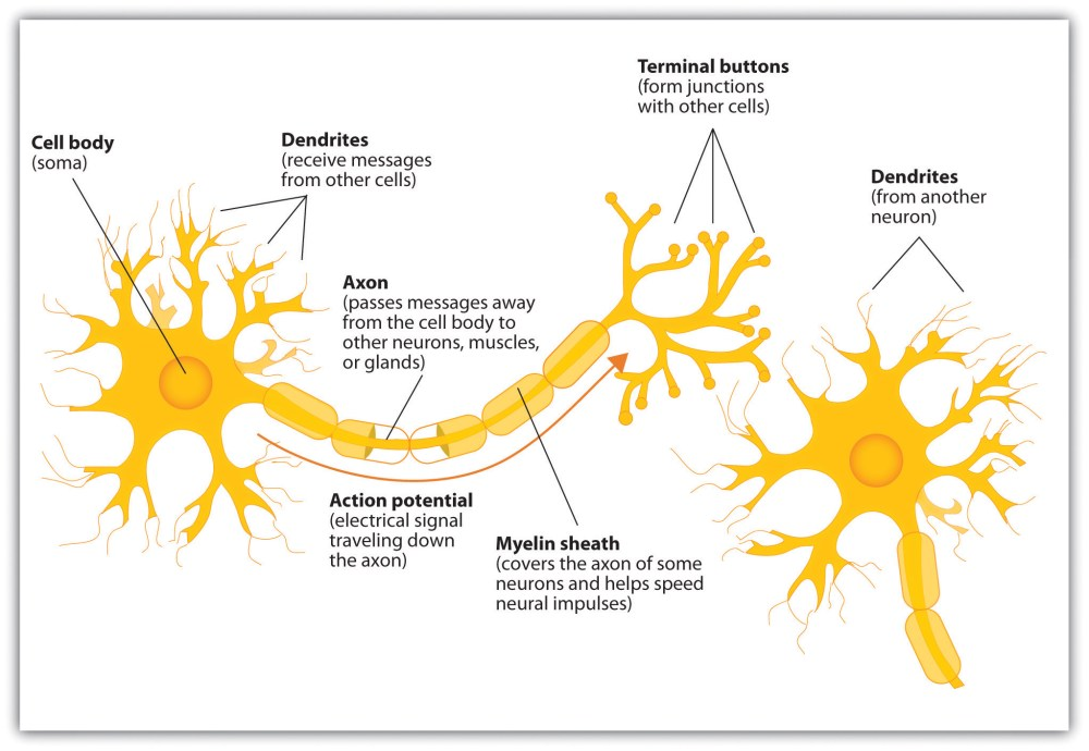 medium resolution of 4 1 the neuron is the building block of the nervous system