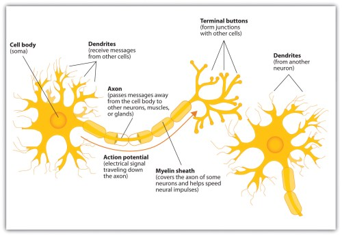 small resolution of 4 1 the neuron is the building block of the nervous system