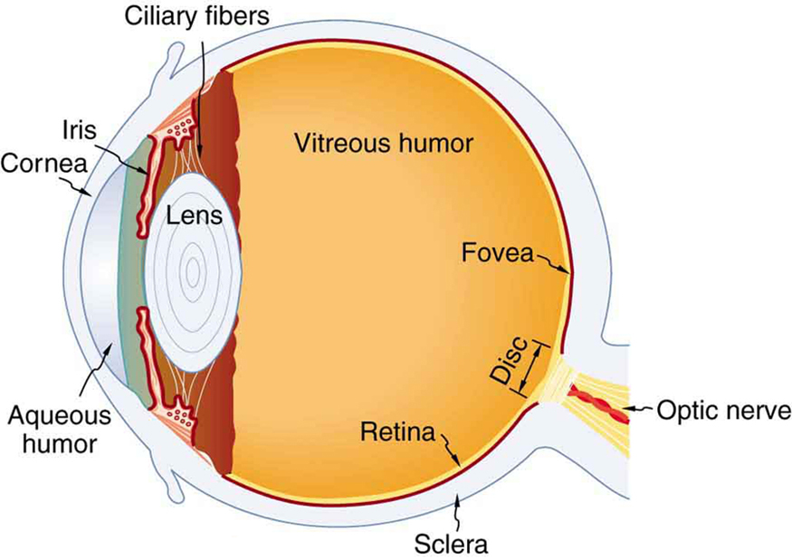 human eye parts diagram kenworth wiring p94 1619 physics of the college figure depicts internal structure an with labels these include cornea