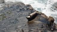 baby seal waving