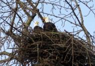 Eagles on a nest in Skagit County, WA. Photo by Karen Molenaar Terrell.