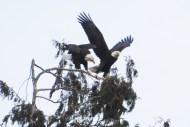 Eagles landing on top of a cedar tree in Skagit County, WA. Photo by Karen Molenaar Terrell.