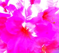 pink rhododendron high contrast